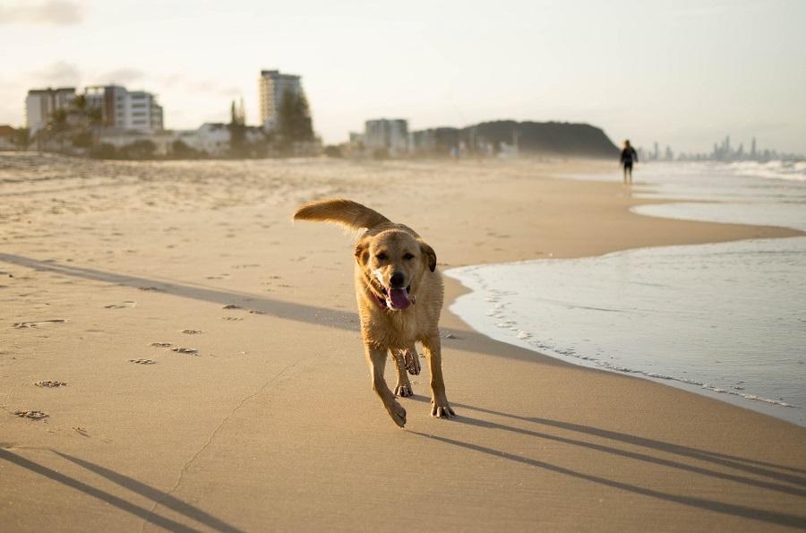 Dog running on one of the best Sunshine Coast Beaches